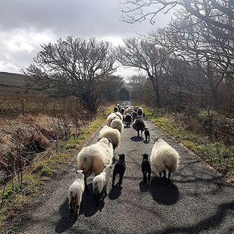 Sheep_1.jpg